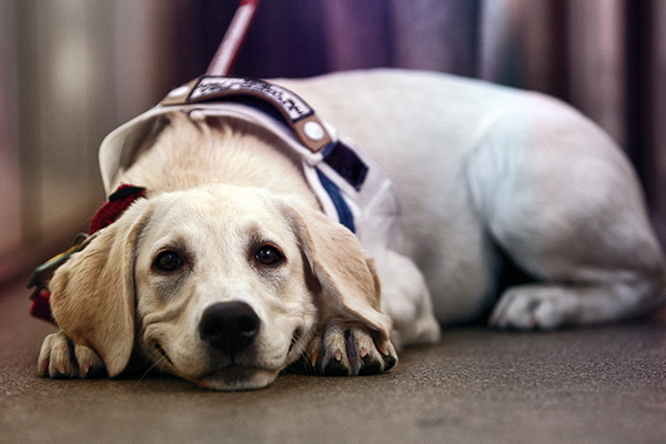 Article image for Why wait times for seeing eye dogs have blown out