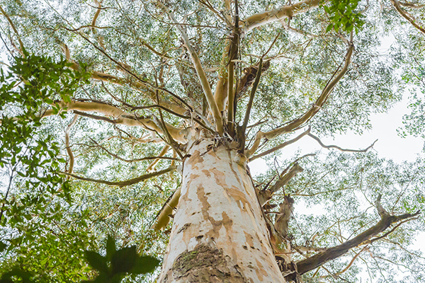 Article image for Nine trees in the running for Victoria's 'Tree Of The Year' award