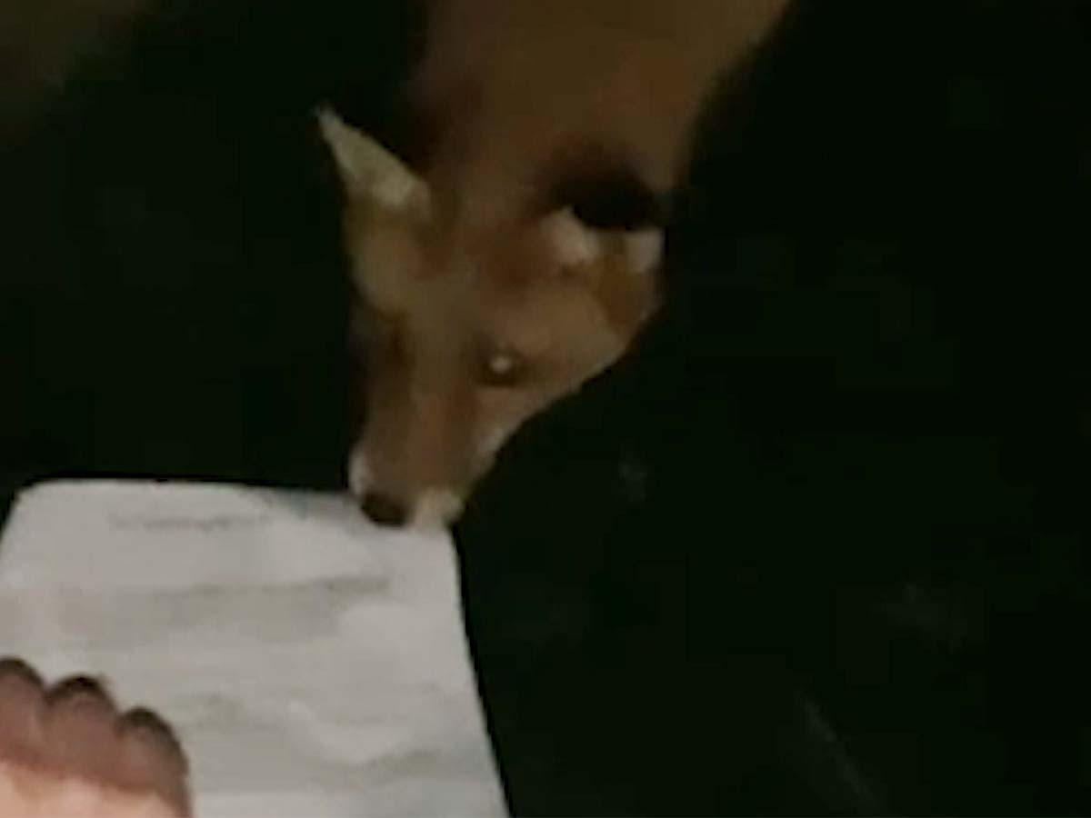 Article image for VIDEO: Bold fox snatches permission slip from student's hand