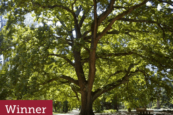Article image for Tree of the Year: Victoria's favourite tree has been named
