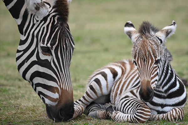 Article image for Adorable new arrival at Werribee Open Range Zoo