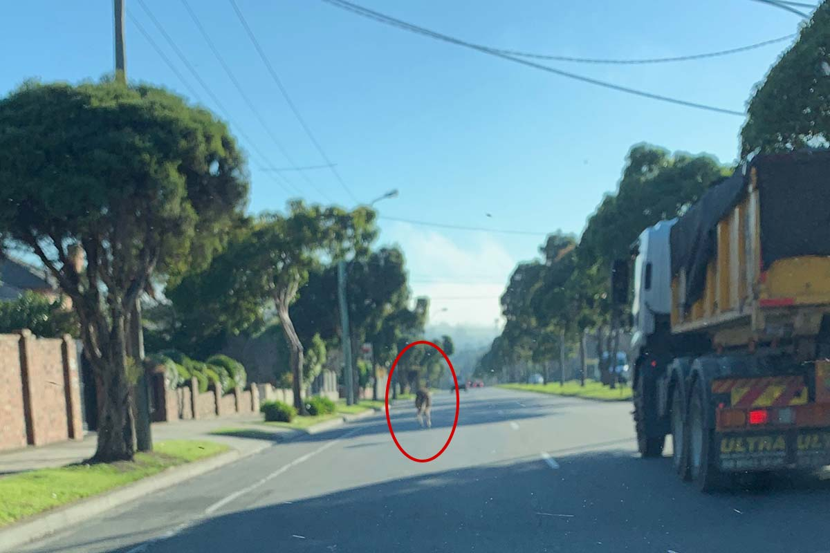 Article image for Kangaroo spotted hopping on busy road in East Kew