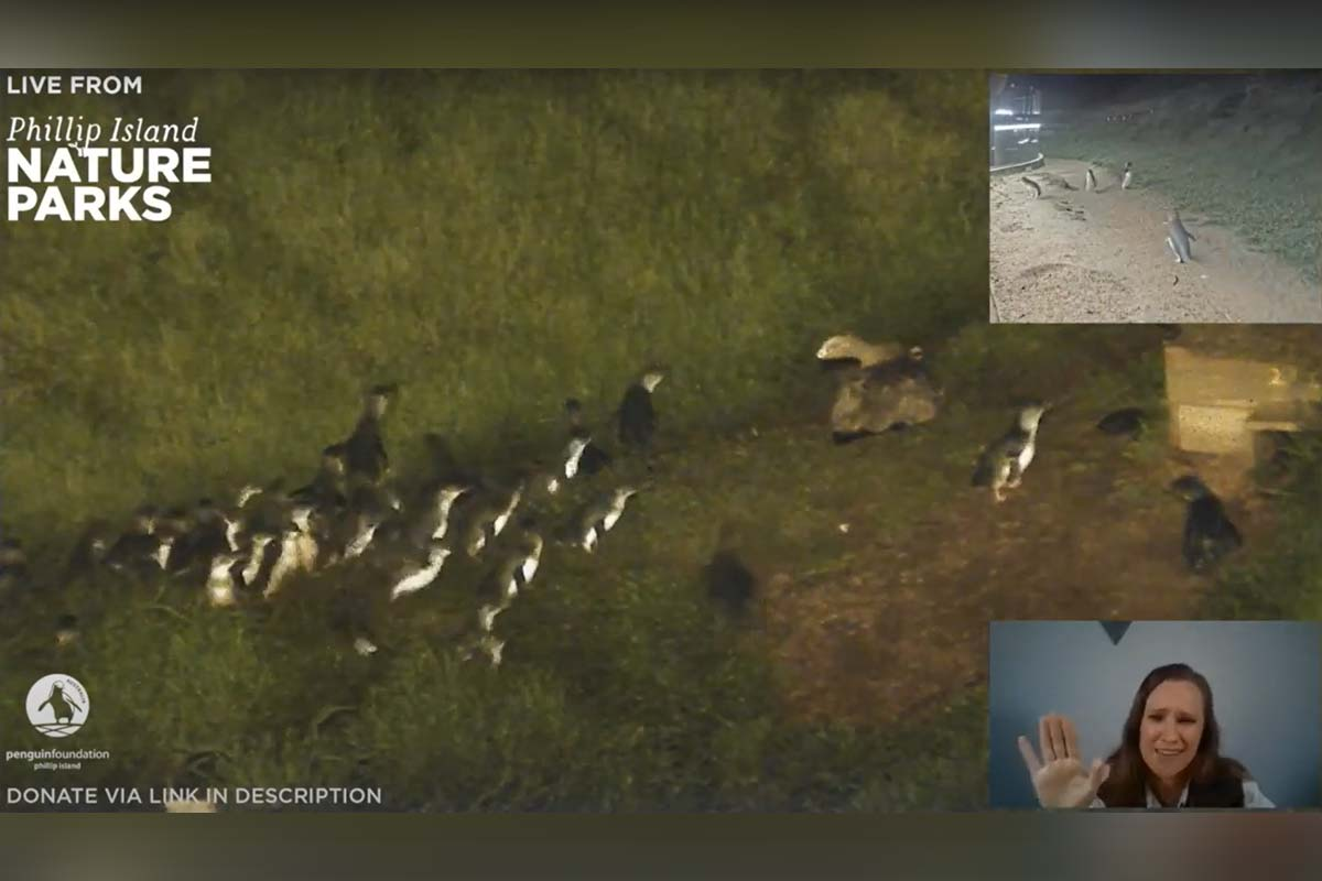 How to watch the Phillip Island Penguin Parade live again this year