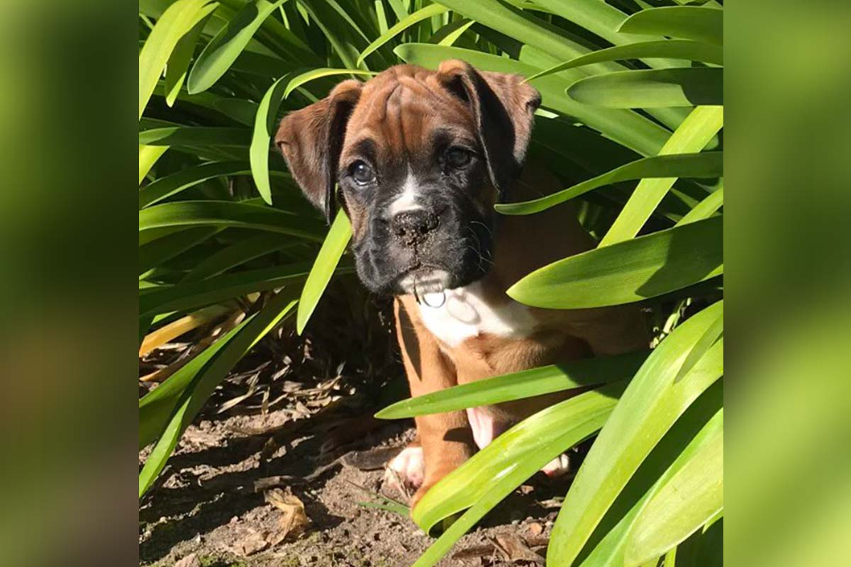 jester the boxer