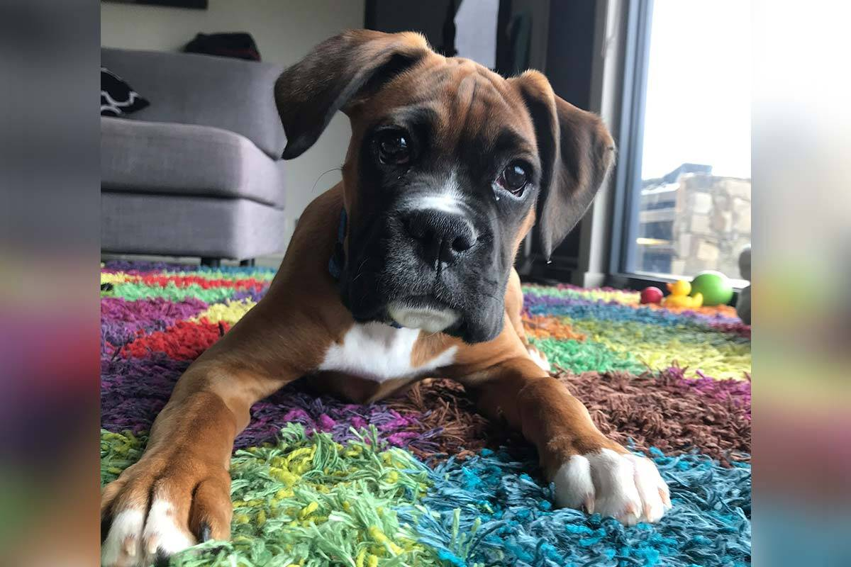 Article image for PICTURES: Neil Mitchell's puppy Jester at 15 weeks