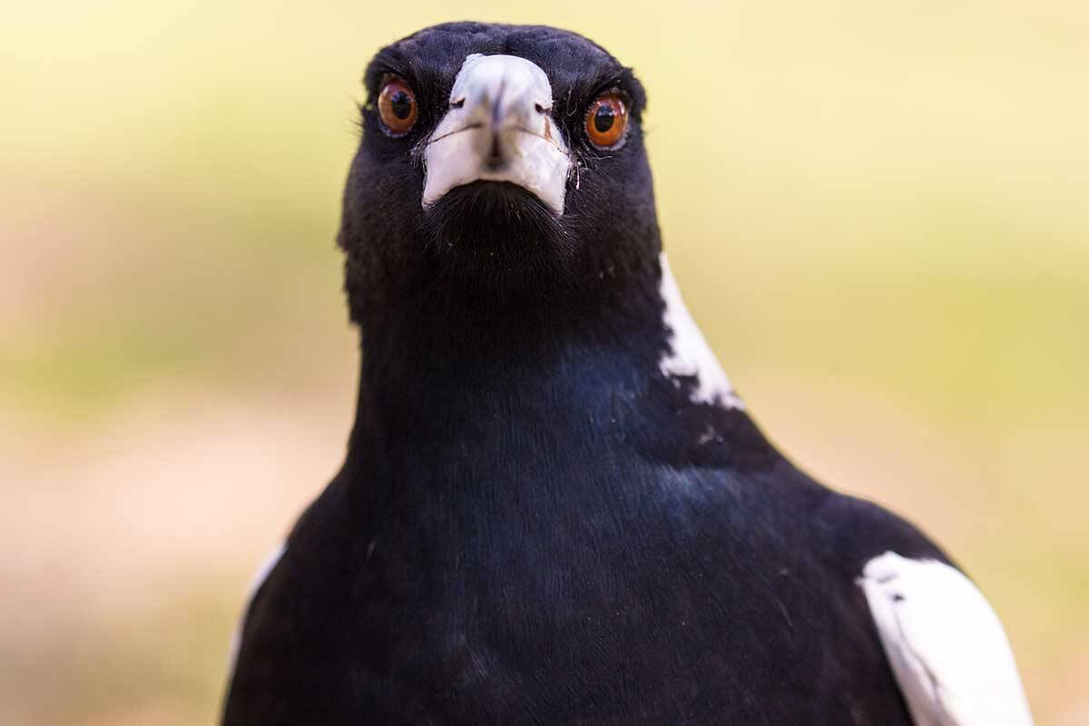 Article image for The one 'foolproof' way to avoid being swooped by a magpie