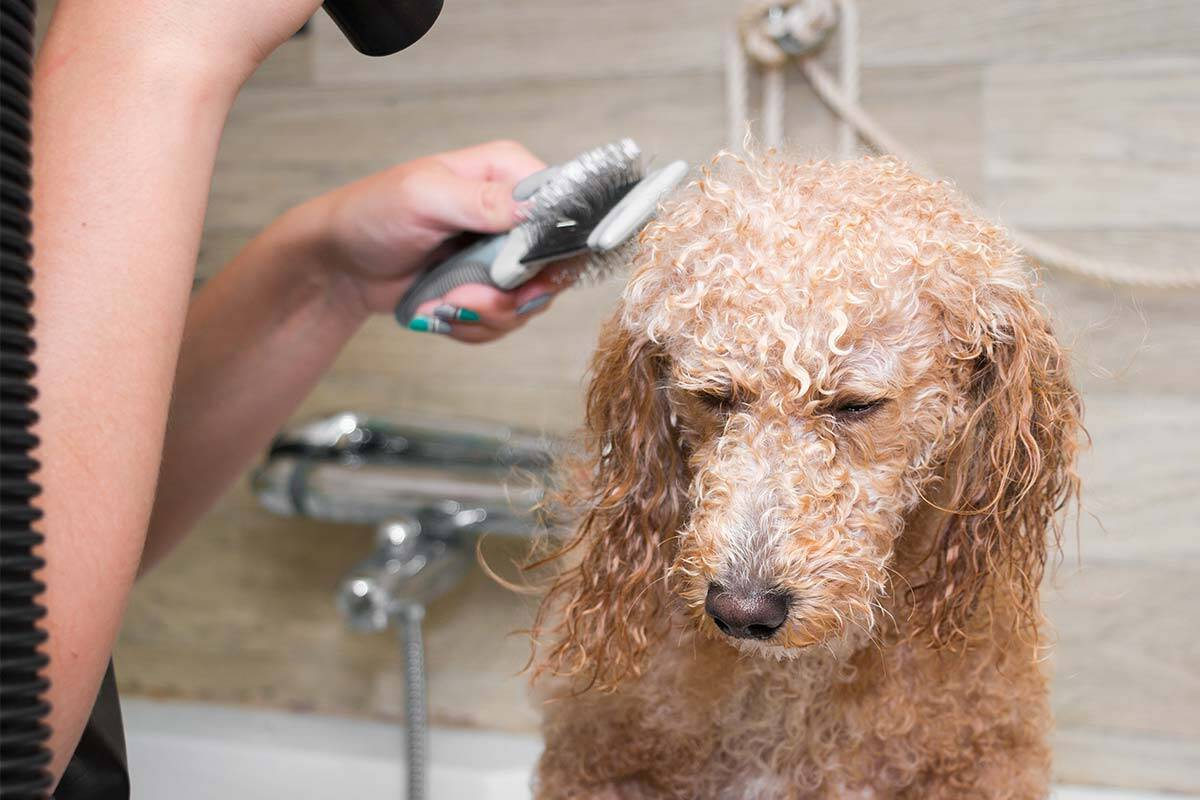 Article image for Dog owners rejoice after Health Department grooming backflip