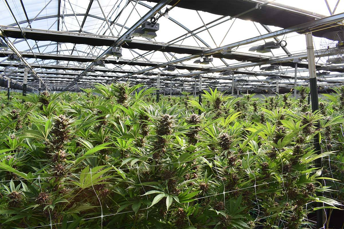 Article image for How a plan to cultivate cannabis could reduce rates in a Melbourne council