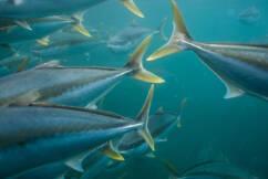 Kingfish making a sustainable splash